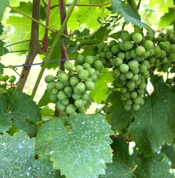 ワイン知識を身につけたあと、ブドウ畑へ!