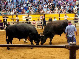 一度は見てみたい!愛媛県宇和島の「闘牛」観戦方法!