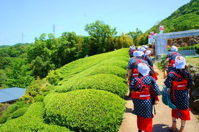 【4】蔵屋鳴沢で茶摘み体験(静岡)