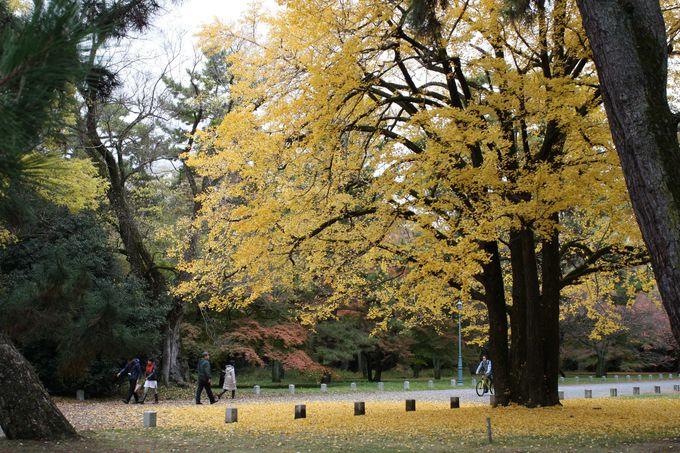 「刈安色」の葉が降り積もる銀杏の木は秋のシンボル。