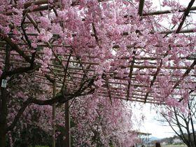 京都鴨川沿い「半木の路」。紅枝垂桜に酔いしれる800mのお花見コース