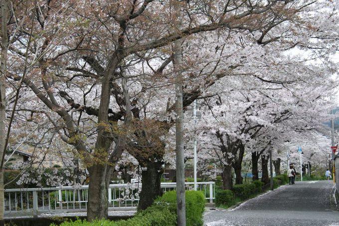 折り返して、高野川沿いのソメイヨシノへ