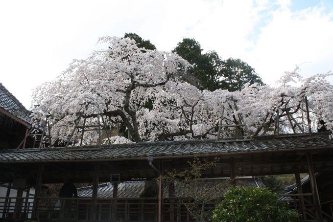 桜が教えくれる生命力のすごさ