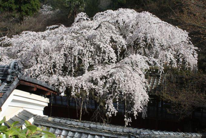 住職の朗詠を聞きながら見る桜のはかなさと業平の想い出