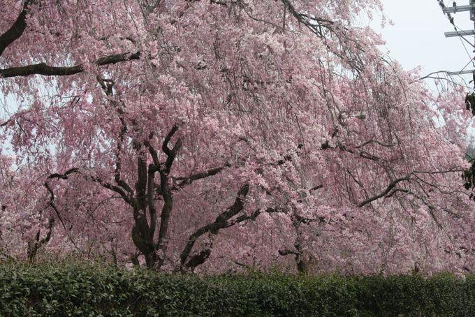 枝垂れ桜が満開になる4月中旬が見頃!