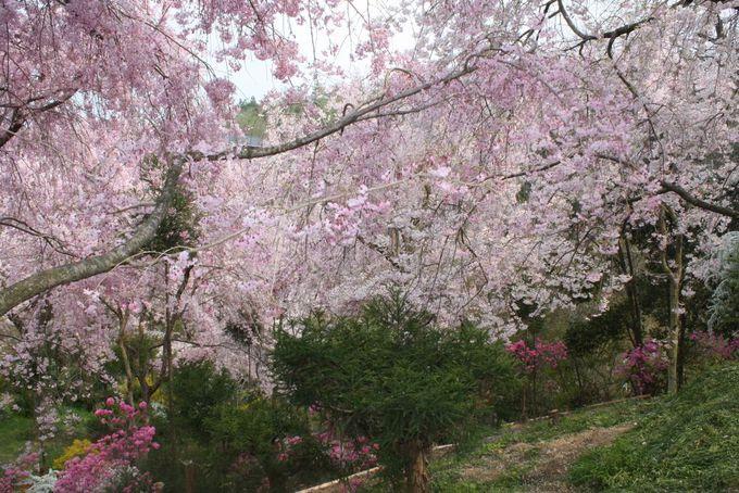 桜への愛情を感じる、個人が開いた自然の苑