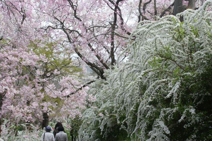 原谷苑へは送迎バスがおすすめ! 仁和寺の御室桜と合わせて楽しんで
