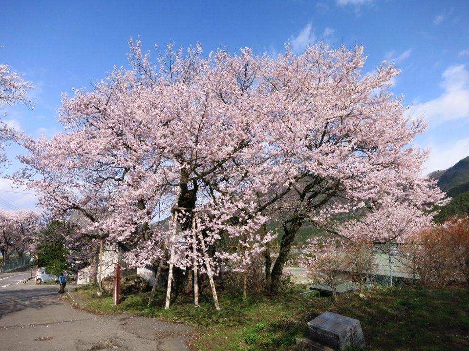 延命地蔵堂のアズマヒガンザクラ(須坂市)