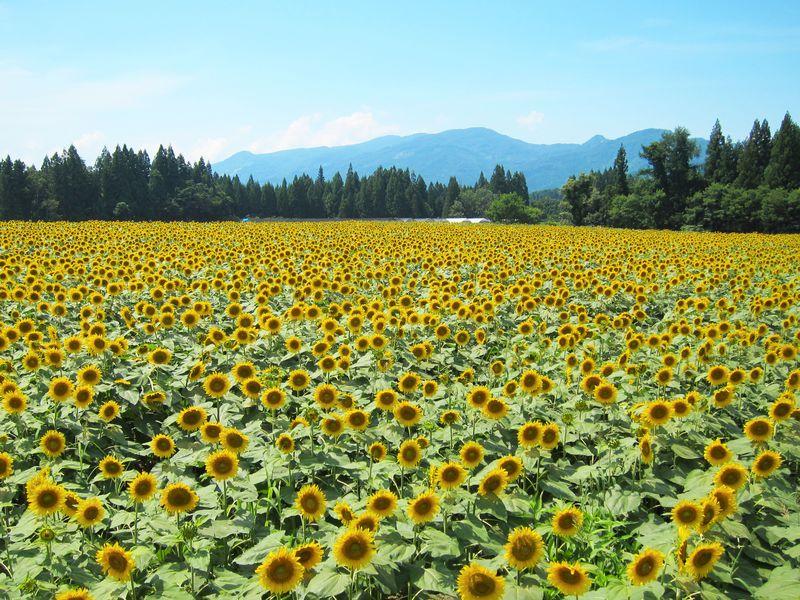 夏の新潟 津南町のひまわり畑で元気をチャージ!名水にグルメも!