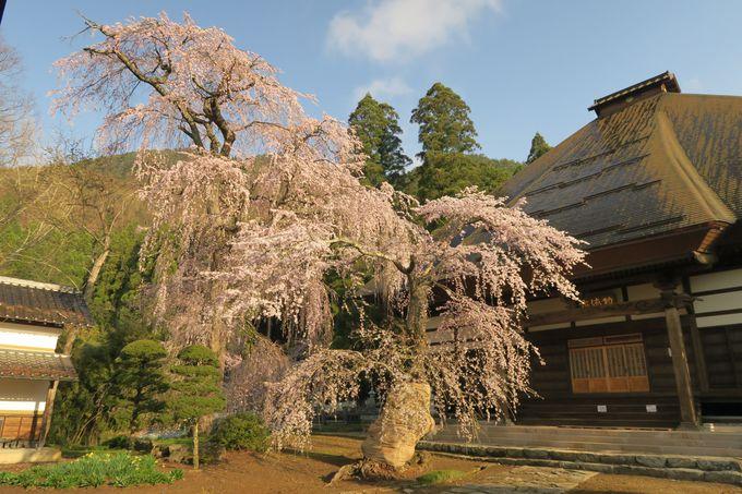 長みょう寺のしだれ桜(須坂市)