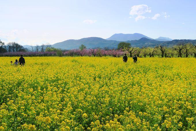 一面に広がる菜の花と山々のオススメビュースポット!