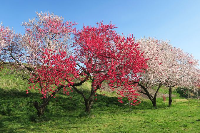 ハナモモ、りんごの花も楽しめる!