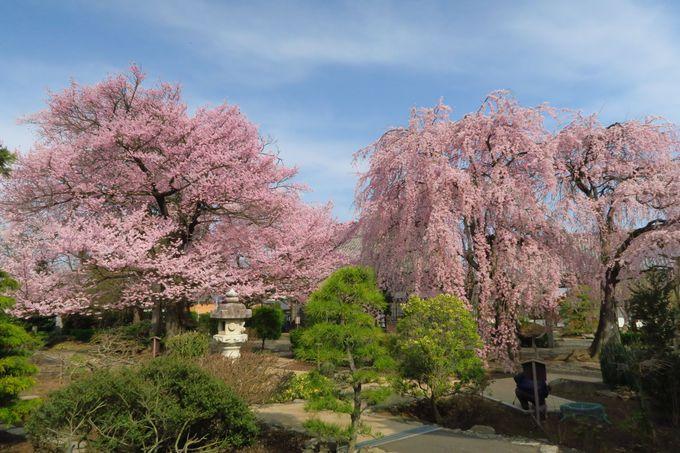 境内から溢れ出す!「典厩寺」の桜のピンクは青空に映える!