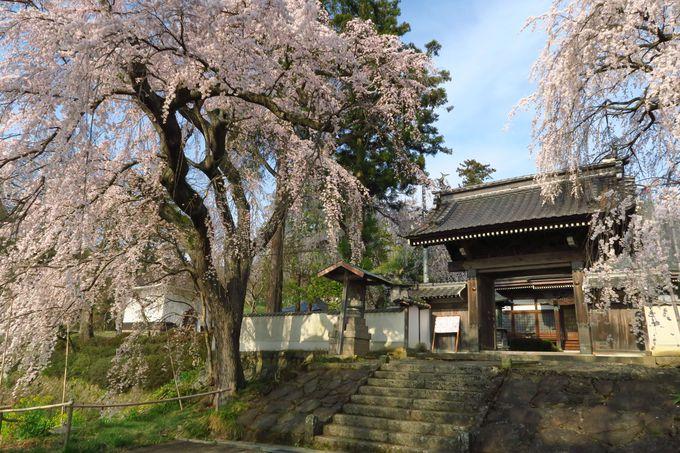 高台に立つ古刹「光林寺」の桜は降り注ぐような枝振りが見事!