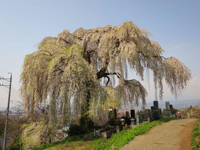4月中旬〜5月上旬 「山ノ内町」樹齢推定850年「宇木の千歳桜」
