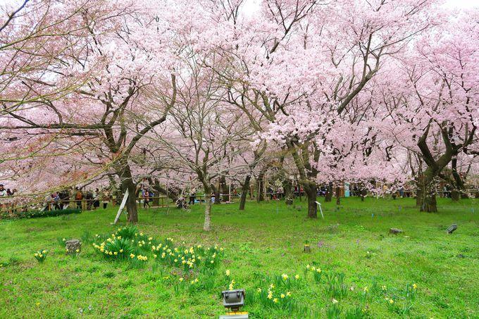 4月上旬〜中旬 「伊那市」桜好きなら絶対外せない名所「高遠城址公園」