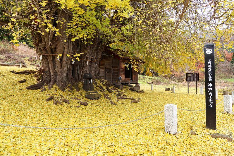 長野の晩秋を彩る風景!飯山市「神戸の大イチョウ」