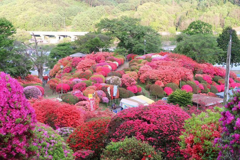 勘違いから生まれた?長野県「鶴峰公園」でつつじに埋もれる!