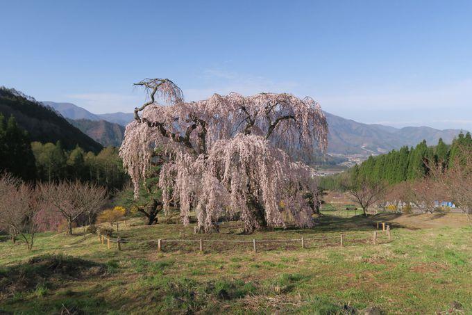 弁天さんのしだれ桜(須坂市)