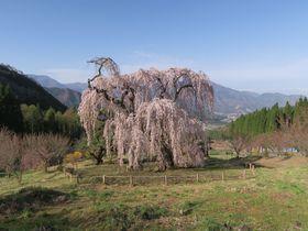 5月まで楽しめる!長野県 須坂・高山のおすすめ一本桜 5選
