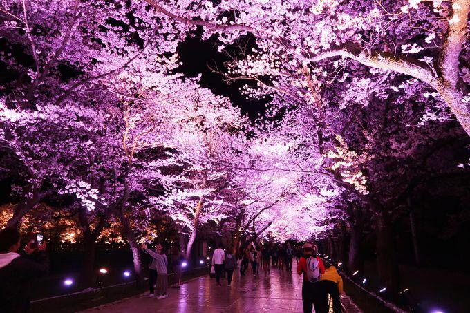 ピンク色の桜並木がお出迎え!さくらロード!