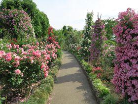 初夏の長野県中野市 世界のバラと採れたてのさくらんぼを楽しむ!