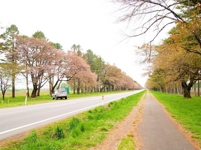 知る人ぞ知る日本最大とも言われる静内の二十間道路の桜並木。
