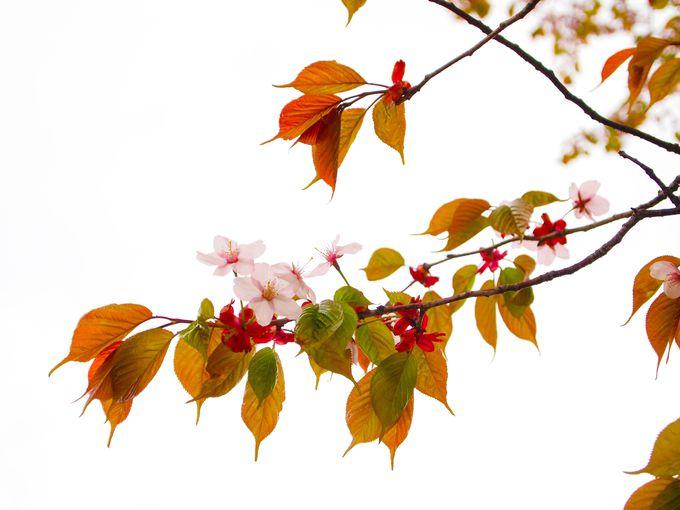おすすめ、しずない桜まつり。
