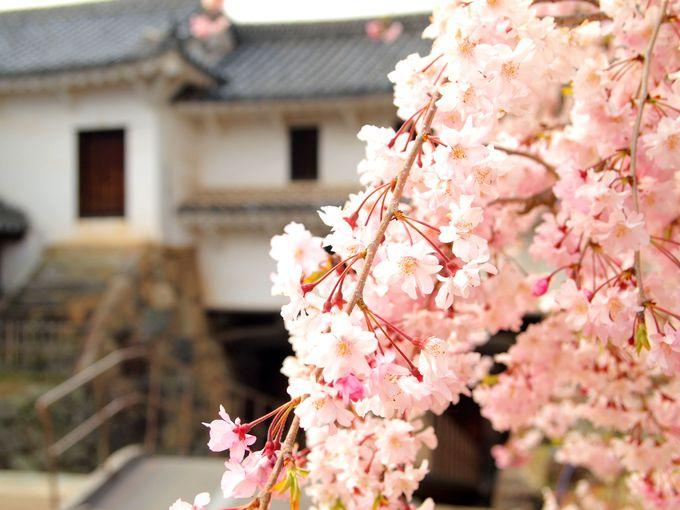 9.真っ白な城×ピンクの桜!兵庫「姫路城」で桜散歩