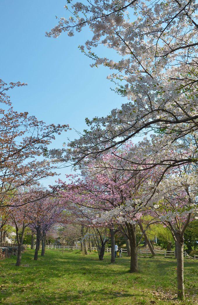 青空に映える薄紅の八重桜
