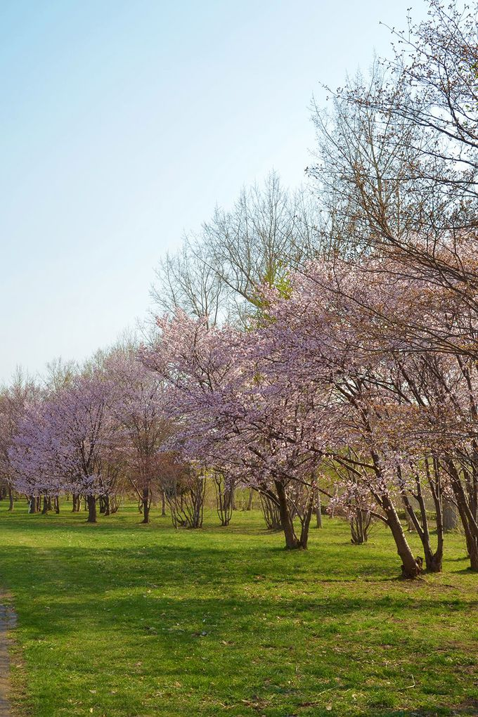 隣接の真駒内公園内は桜の名所!!
