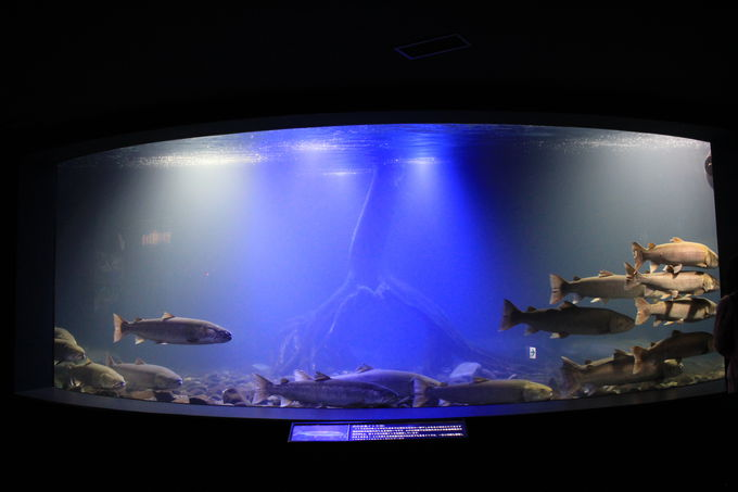 日本最大の淡水魚「イトウ」が日本最多の20匹!