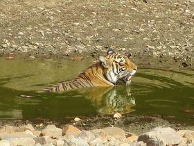 野生のトラに会いに行こう!インド「ランタンボール国立公園」