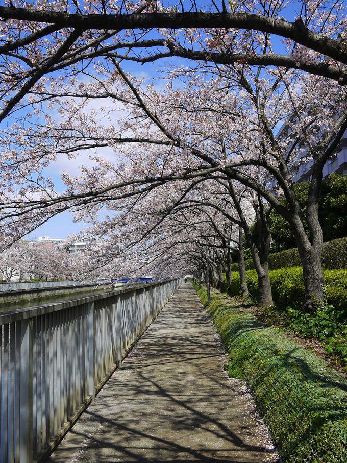 舞い落ちる花びらを受け止めながら桜のトンネルを散歩