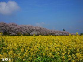 埼玉幸手・権現堂堤の桜と菜の花と青空、ランチを楽しむ癒しの春旅