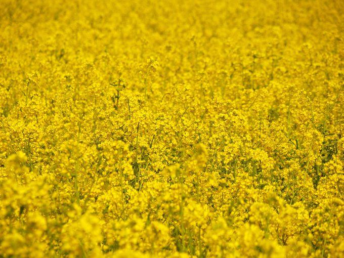 菜の花の黄色には人を幸せにさせる効果が!?