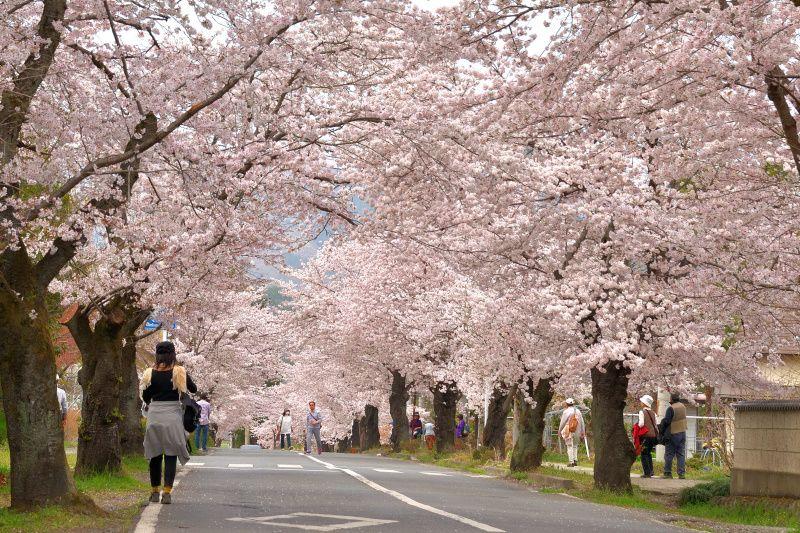 8.桜のトンネル