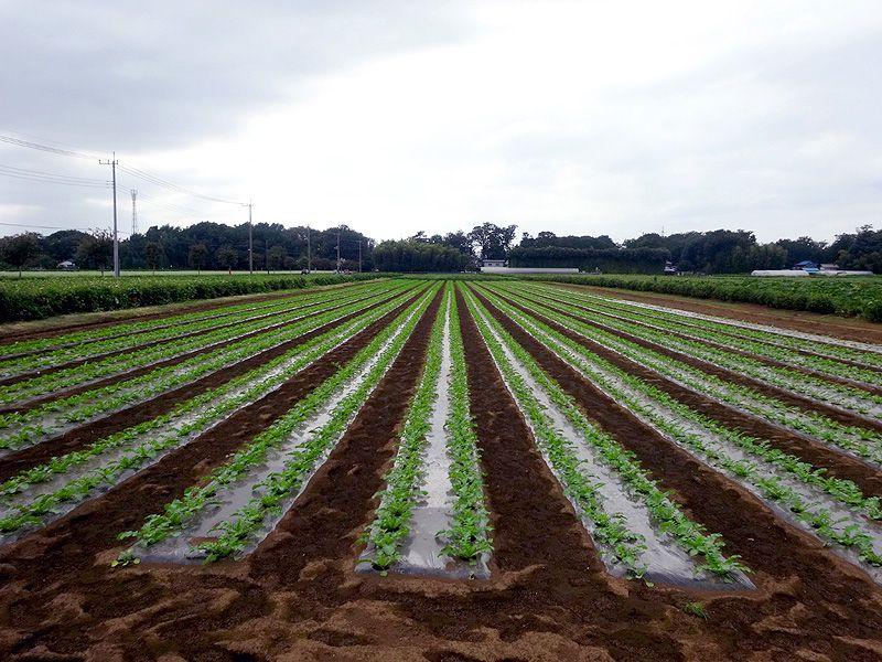 サツマイモの名産地「三富新田」