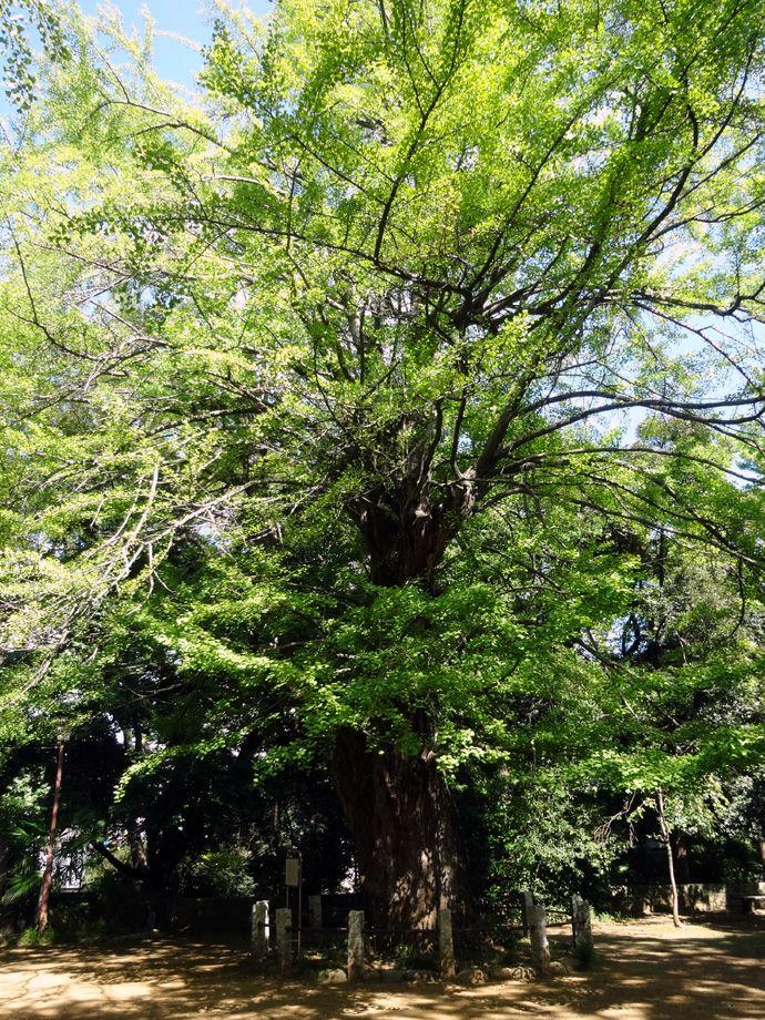 赤坂氷川神社に名残の「大いちょう」