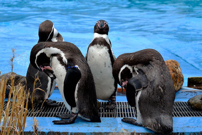 生活している姿のペンギン