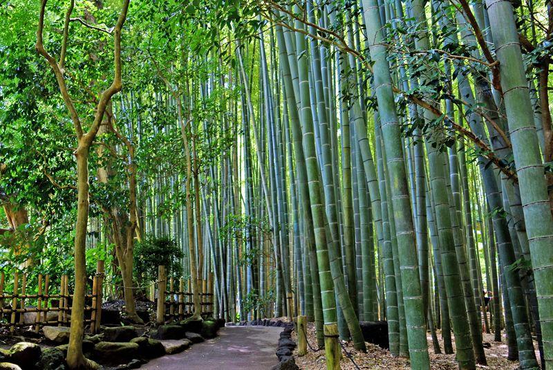 緑の色彩『報国寺竹庭』
