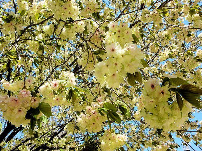二度楽しもう桜の花見