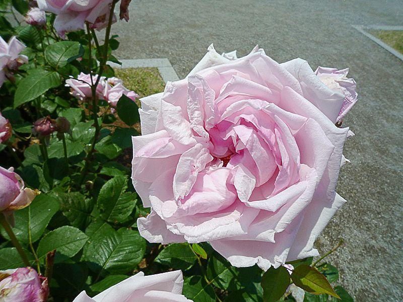 現代のバラのシンボルはお見逃しなく
