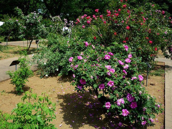 原種バラのコレクション
