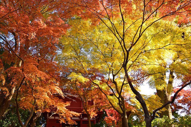 オレンジと黄色の絶景!松戸市「本土寺」生れの秋山紅で紅葉狩り