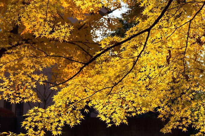 秋の終わりを告げる黄色の紅葉