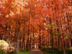 上を向いて歩こう!葛飾区「水元公園」メタセコイア紅葉の森