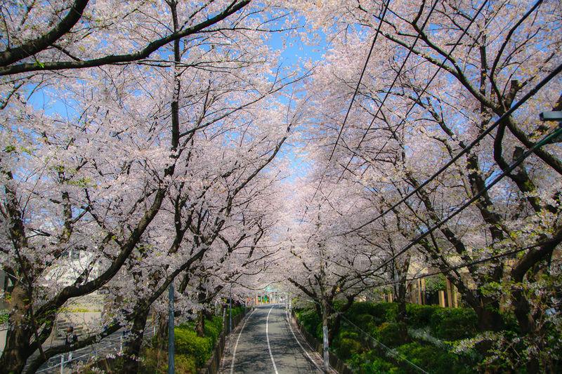 名曲「桜坂」は永遠に!大田区・田園調布の3大お花見スポット