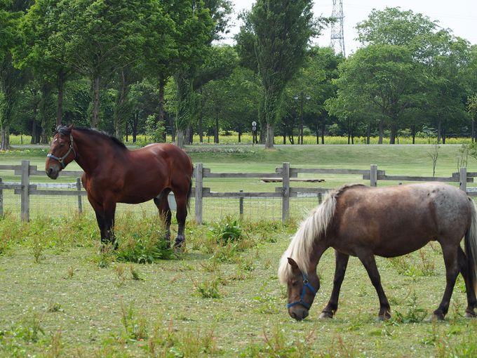 サッポロさとらんどの「ふれあい牧場」で馬を見よう!