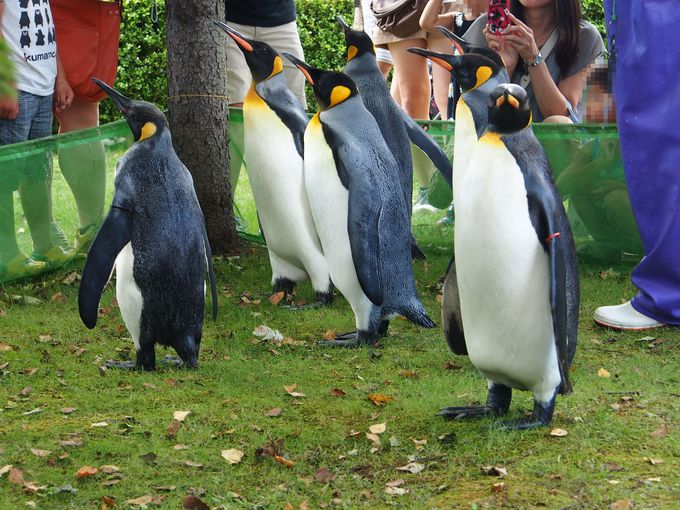 ペンギンが登別マリンパークニクスを歩く!「ペンギンパレード」はまさに必見